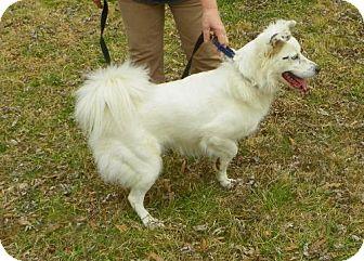 Border Collie/Australian Shepherd Mix Dog for adoption in Bartlett, Tennessee - Dancer
