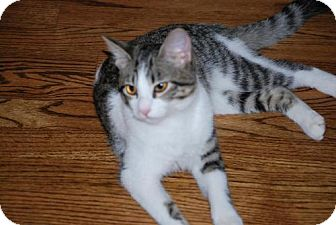 Domestic Shorthair Cat for adoption in Houston, Texas - Caitlin
