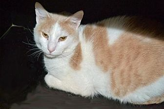 Domestic Shorthair Cat for adoption in Akron, Ohio - Cash *Special Adoption Fee