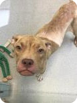 Pit Bull Terrier Mix Dog for adoption in Columbus, Georgia - Darby 7464
