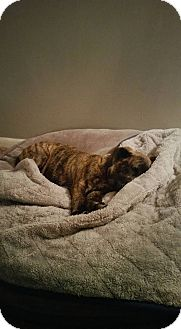 Catahoula Leopard Dog Mix Puppy for adoption in Staunton, Virginia - Tigger