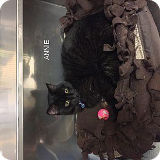 Domestic Shorthair Cat for adoption in Hibbing, Minnesota - ANNIE