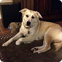 Labrador Retriever Mix Dog for adoption in Brattleboro, Vermont - Leah