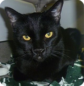 Domestic Shorthair Cat for adoption in Hamburg, New York - Sheamus
