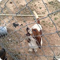 Adopt A Pet :: Duke Carlsbad - Albuquerque, NM