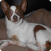 Chihuahua Dog for adoption in haslet, Texas - zoe