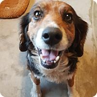 Adopt A Pet :: Amelia - Springfield, MO