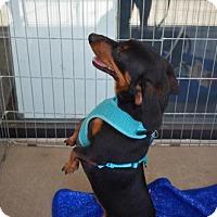 Adopt A Pet :: Otto - Aurora, CO
