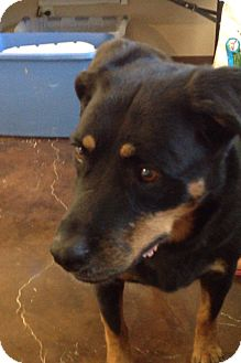 Rottweiler Dog for adoption in Gilbert, Arizona - Tessa