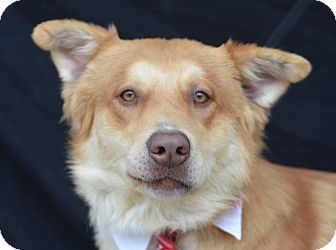 Husky/Retriever (Unknown Type) Mix Dog for adoption in Plano, Texas - Monty