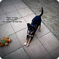 Adopt A Pet :: Felix - Gadsden, AL