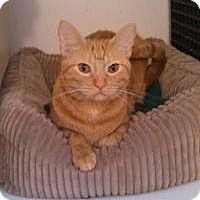 Domestic Shorthair Cat for adoption in Ringwood, Illinois - Rusty