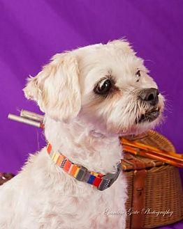 Bichon Frise/Poodle (Miniature) Mix Dog for adoption in Elizabethtown, Pennsylvania - Rascal