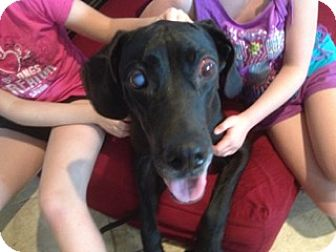 Great Dane Dog for adoption in Springfield, Illinois - Daisy