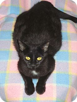 Domestic Shorthair Cat for adoption in Woodstock, Ontario - Sheba