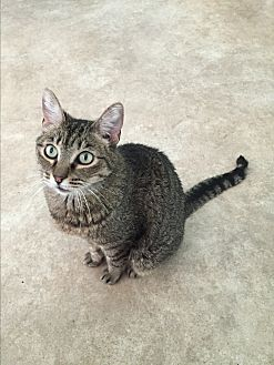 Domestic Shorthair Cat for adoption in Walnut Creek, California - Jen