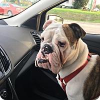 Adopt A Pet :: CJ - Park Ridge, IL