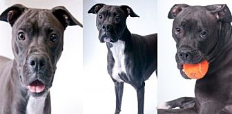 Boxer Mix Puppy for adoption in Chicago, Illinois - Zowey