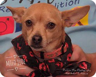 Chihuahua Mix Dog for adoption in Santa Fe, Texas - Milo Jude
