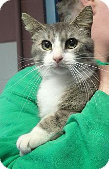 Domestic Shorthair Cat for adoption in Newport, North Carolina - Erin (Petsmart New Bern)