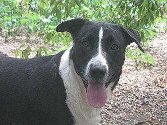 Labrador Retriever/Border Collie Mix Dog for adoption in Portland, Maine - Avon