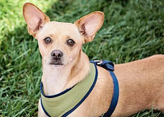Chihuahua Mix Dog for adoption in Rancho Cucamonga, California - Teddy