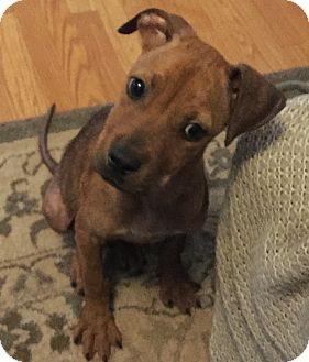 Labrador Retriever Mix Puppy for adoption in Fort Collins, Colorado - Arthur