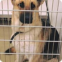 Adopt A Pet :: German Shepherd - Albuquerque, NM