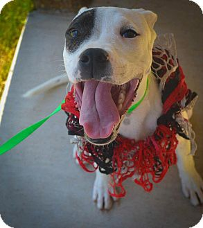 Pit Bull Terrier Mix Dog for adoption in Arlington, Texas - Dixie