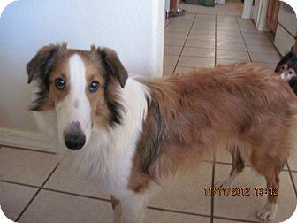 Sheltie, Shetland Sheepdog Puppy for adoption in apache junction, Arizona - Scooby
