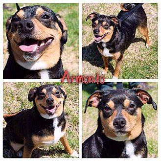 Miniature Pinscher/Pug Mix Dog for adoption in Garden City, Michigan - Armondo