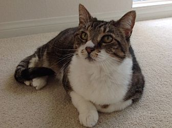 Domestic Shorthair Cat for adoption in Monrovia, California - Georgina