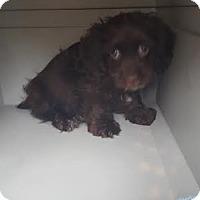 Adopt A Pet :: Finnigan - Algonquin, IL