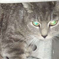 Adopt A Pet :: Barn Cats - Kensington, MD
