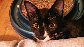Domestic Shorthair Cat for adoption in St Paul, Minnesota - Maggie