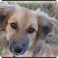 Adopt A Pet :: Sandy-An Absolute Doll - Marlborough, MA