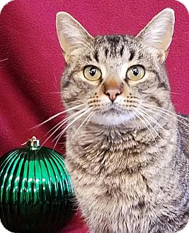 Domestic Shorthair Cat for adoption in Colfax, Iowa - Owen