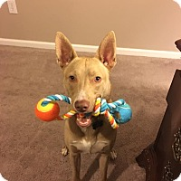 Adopt A Pet :: Maverick - Indianapolis, IN