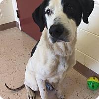 Pointer Mix Dog for adoption in McDonough, Georgia - Jello
