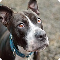 Pit Bull Terrier Mix Dog for adoption in Eugene, Oregon - Sasha
