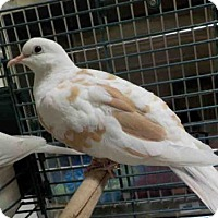 Adopt A Pet :: SEAGULL - Maumee, OH