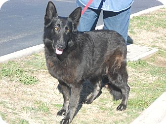 German Shepherd Dog Dog for adoption in Greeneville, Tennessee - Hope