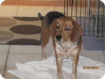 Beagle Dog for adoption in Avon, Ohio - PRANCER