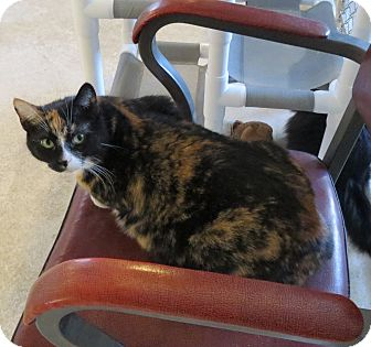 Domestic Shorthair Cat for adoption in Geneseo, Illinois - June