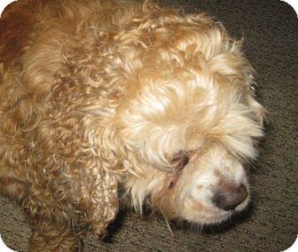 Cocker Spaniel Dog for adoption in Prole, Iowa - Maggie