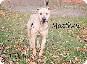 Pit Bull Terrier/American Staffordshire Terrier Mix Dog for adoption in Chicago, Illinois - Matthew