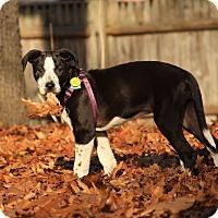 Adopt A Pet :: Latte - Lewisville, IN