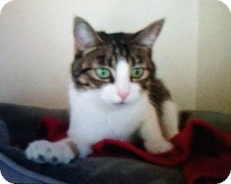 Domestic Shorthair Cat for adoption in Santa Monica, California - Ana