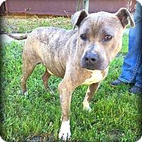 Pit Bull Terrier Mix Dog for adoption in Demopolis, Alabama - Rocky