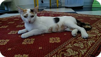 Domestic Shorthair Cat for adoption in Austintown, Ohio - Shelby